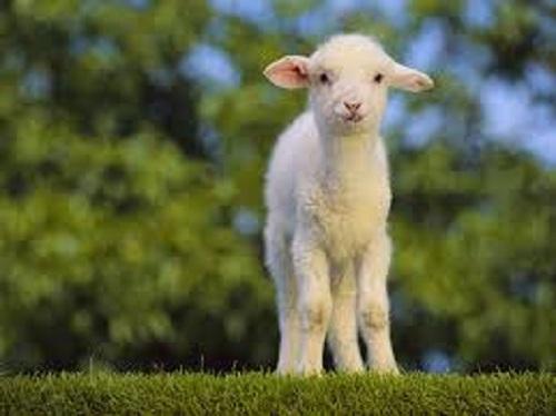 Vol.62 羊肉